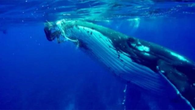 Whale swims up to diver and refuses to leave her alone, then