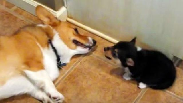 Tiny puppy releases a fart into her big bro's face. Big bro proceeds to make the most hysterical fac