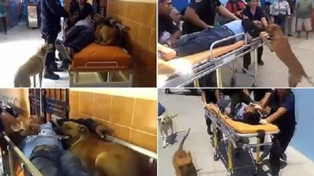 They really are man's best friend: Loyal dogs refuse to leave their injured owner and jump into the