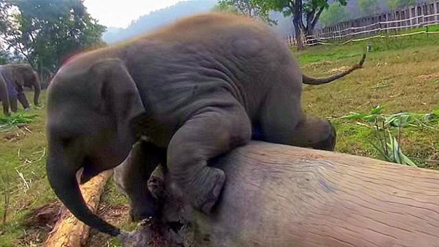 It's baby elephant vs. the log. The wrestling match that ensues is too cute for words