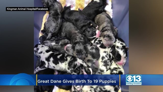 Great Dane goes into labor and doctors lose count as she gives birth to 'never-ending' litter