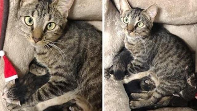 Cat gave birth to kittens on Christmas eve right after she was rescued