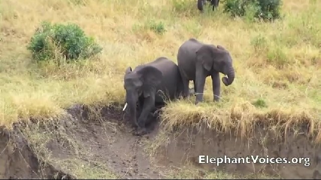 Little Elephants Are Having Fun On Mud Slide, But Wait Until You See Who Slides Down Right After The