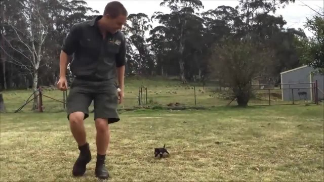 Watch This Baby Tasmanian Devil Make Friends With His Keeper