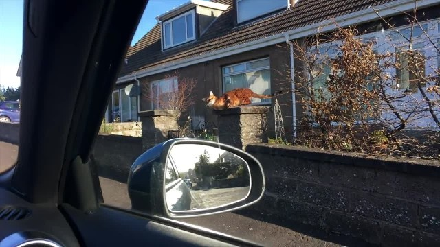 Where have you been human! Cat misses owner (Tonto the bengal cat)