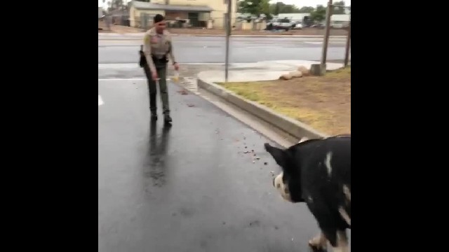 Giant pig gets loose so deputy uses secret weapon to lure him home