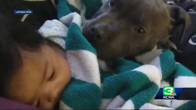 Home burns down with toddler inside, hero pit bull drags baby to safety by her diaper