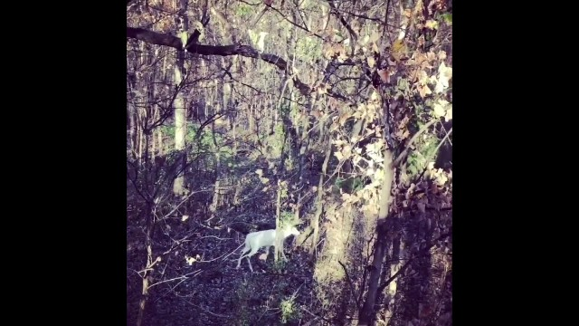 Rare Albino Buck So Beautiful It Moves Hunter Hiding in Tree to Tears