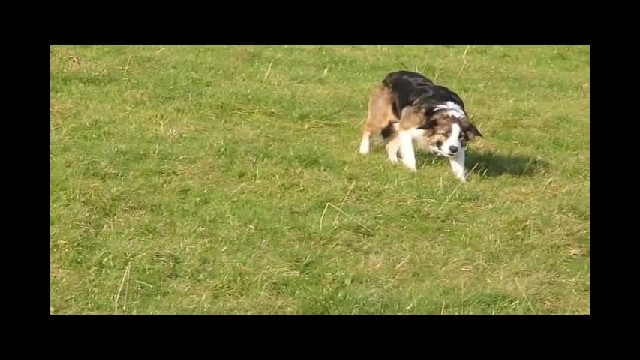 Border Collies Don't Have Sheep To Herd So They Invent Their Own Hilarious Game