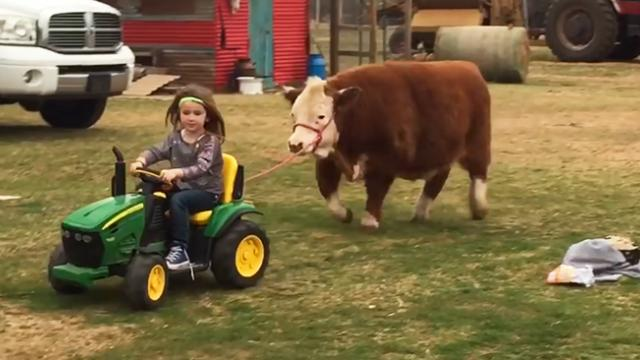 Little country girl has a pet cow and here's how they play together