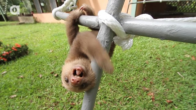 Baby sloths are having a conversation and the Internet is weak in the knees