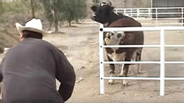 Cow won't stop crying for missing baby. When he appears through fence, she loses control.