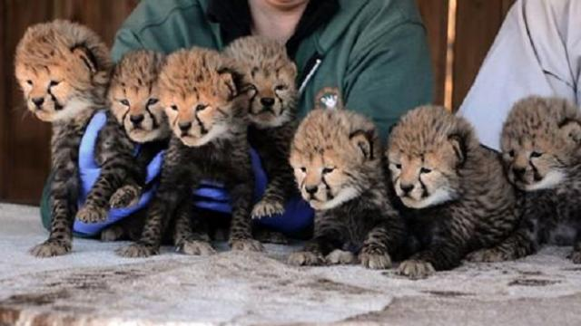 Septuplets! Seven new cheetah cubs born at Metro Richmond Zoo