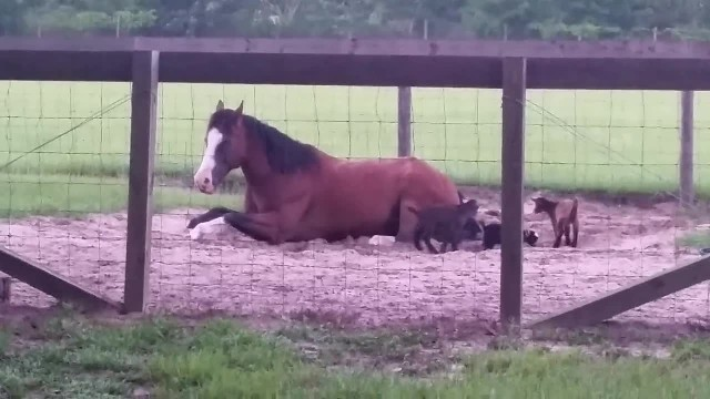 He Spots 2 Tiny Goats Playing With Their Babysitter. But Keep Your Eyes On The Huge Horse!