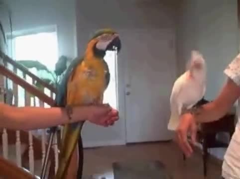 When the parrot challenged his feathered friend to a dance-off, even their owners couldn't stop laug