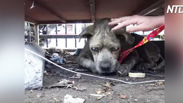 Dog rescuers find blind pit bull hiding in junkyard, and they change his life forever