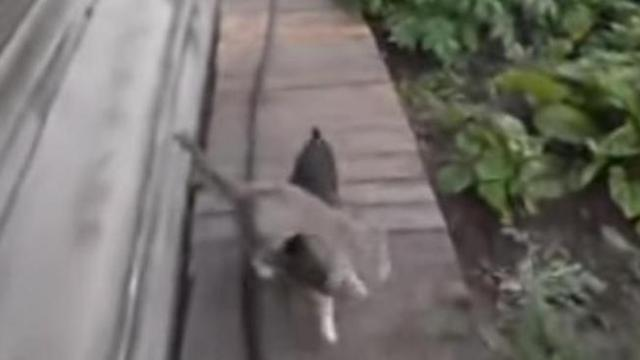 Mom tells dog to bring the cat home. Nobody can stop laughing at the way he does it