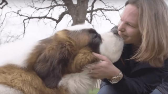 Watch when this 130-pound Saint Bernard steps into his first ever home