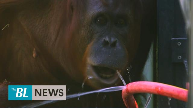 Orangutans cool off at Vienna Zoo as Europe swelters
