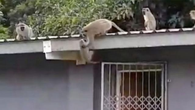 Mom spots baby monkey with rescuer & rushes to reunite with him.