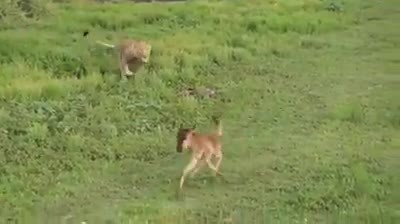 A Kind Hearted Lion's Change Of Heart Was Caught On Camera, The Rare Footage Has Baffled Experts.