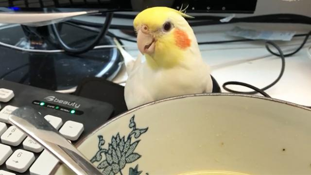 Sassy Cockatiel tries to steal a soup from his owners