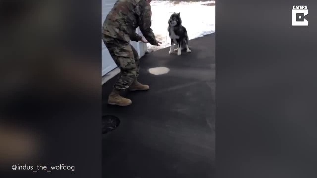 2-Year-Old 'Wolf Dog' Sees Military Dad For First Time In Months, Then Goes Absolutely Bananas