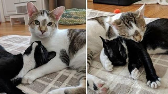 Rescued cat dad stays by mom's side as their kittens are born right before Valentine's Day