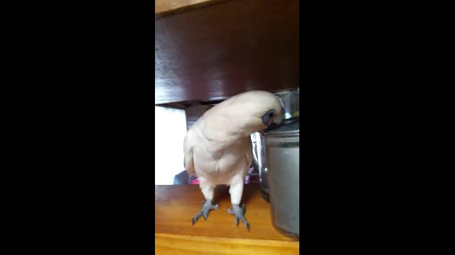 Mom tells him he can't go outside, so cockatoo throws the most hilarious temper tantrum