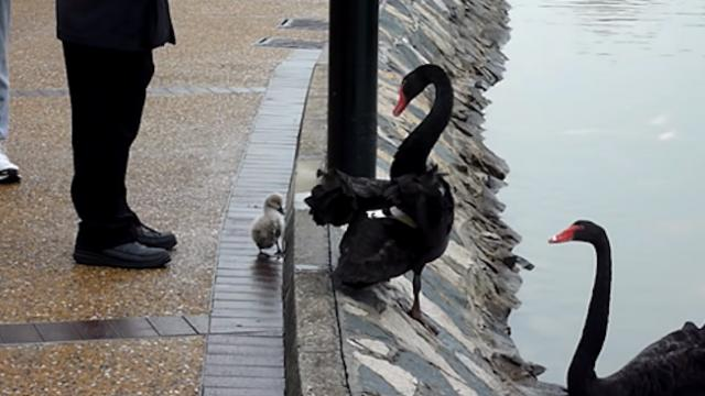 Little baby black swan is nervous for his first swimming lesson so he tries to run away from his nag