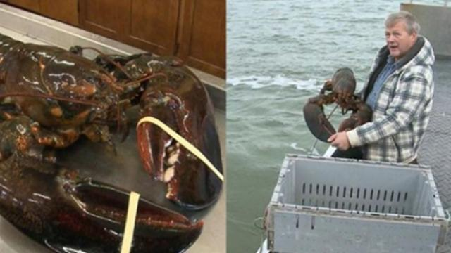 A vegan who bought, giant, 100-year-old lobster decided to set him free