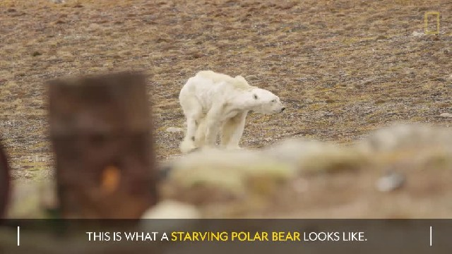 A Polar Bear Starving