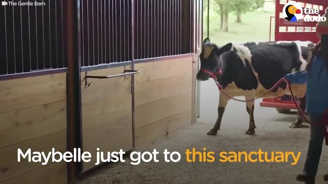 Dairy cow keeps crying day and night. New owner realizes something is wrong, and visits her old farm
