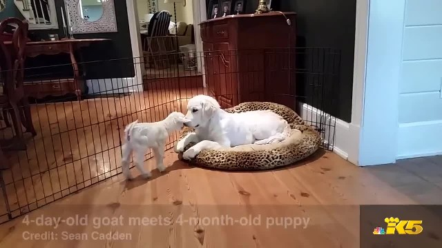 Golden Retriever And Baby Goat Meet For The First Time, And The Pup Loses It