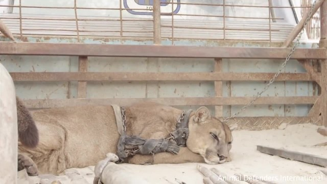 For 20 years this lion was kept in chains. Watch the moment they free him