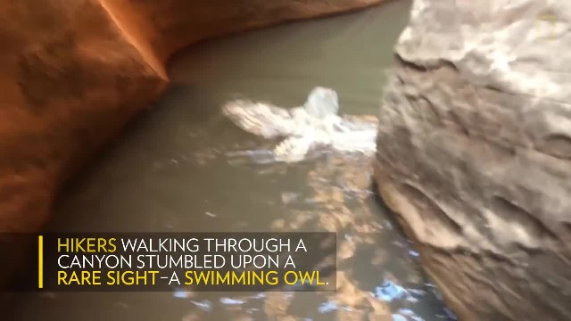 Hikers come across rare sight of owl swimming in a canyon