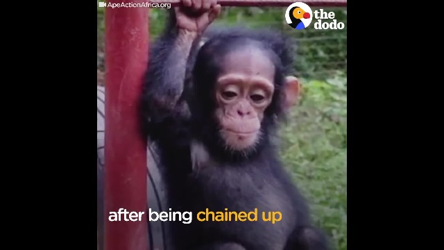Baby chimp can't stand being held, until he finally finds the love he truly deserves