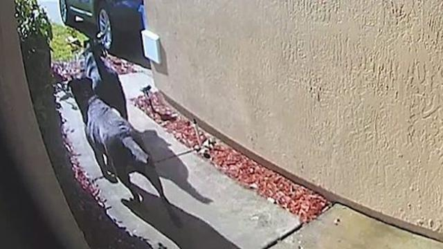 After woman suffers stroke, doorbell cam captures 2 labs running through neighborhood for help