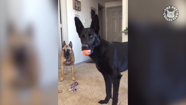 German shepherd's jaw-dropping reaction to crying noise on video is too funny