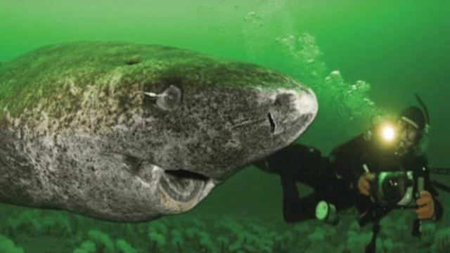 At 512 years old, this shark may be the oldest living vertebrate