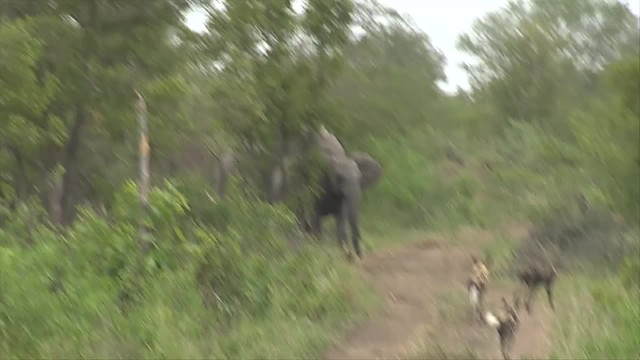 Incredible Dramatic Moment A Herd Of Elephants Rush To Save Calf From A Pack Of Wild Dogs