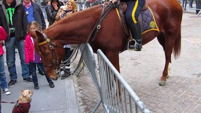 Frenchie walks up to police horse - horse's response to meeting him has gone viral