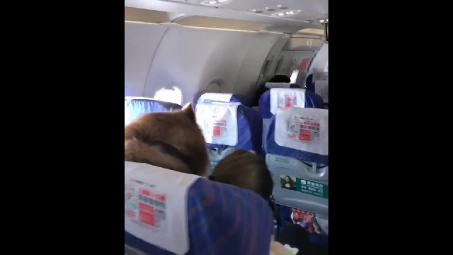Large, fluffy emotional support dog goes viral after video from flight posted online