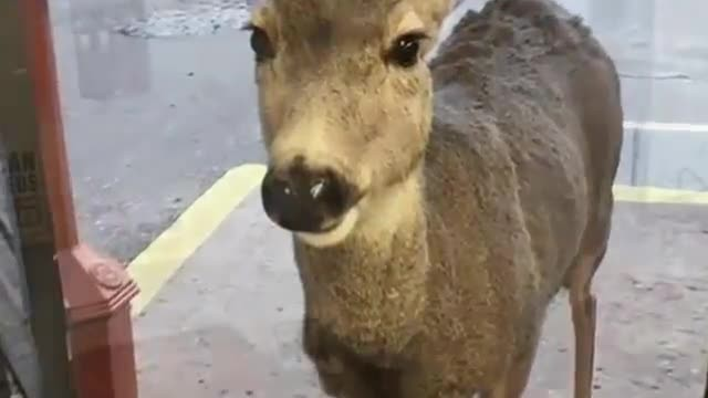Deer drops by gift shop, surprises shopkeeper when she comes back later with her entire family