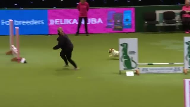 Jack Russell Makes Up His Own Routine At Agility Show, Wins Everyone Over
