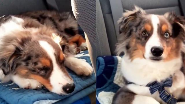 Adorably sleepy dog couldn't 'Let It Go.' He instantly wakes up from his slumber upon hearing his fa