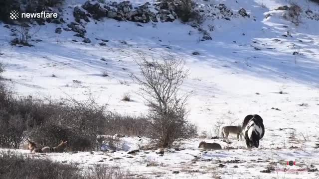 Fearless horse forgets he's a horse and walks right into wolf pack