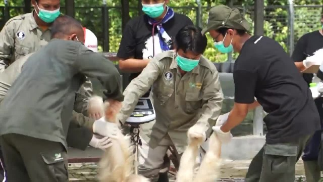 Watch the moment the world's only albino orangutan is returned to the wild