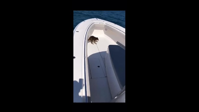 Man Finds Stowaway Raccoon 20 Miles Out At Sea, Then Films Himself Forcing It To Drown