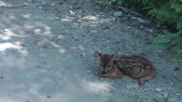 Logger approaches lonesome baby deer - deer calls him 'mom' in adorable manner